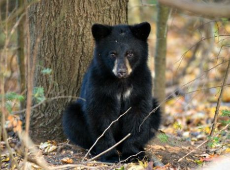 black bear hsi