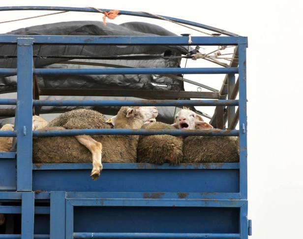 serb sheep 3