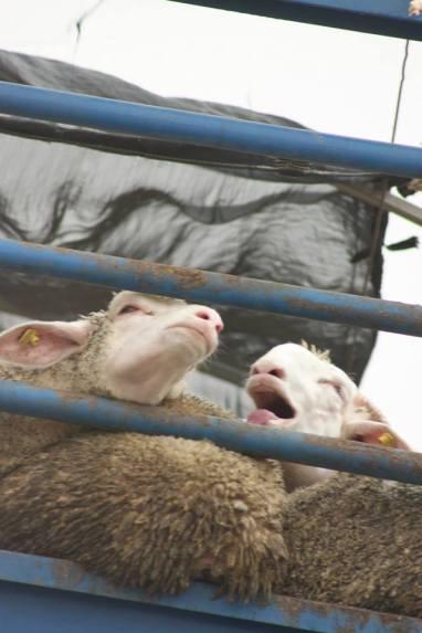 serb sheep 5