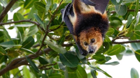 mauritus flying foxes