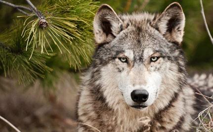 wyoming wolf