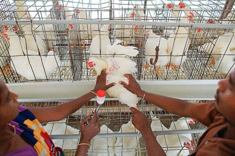 chicken antibiotics india