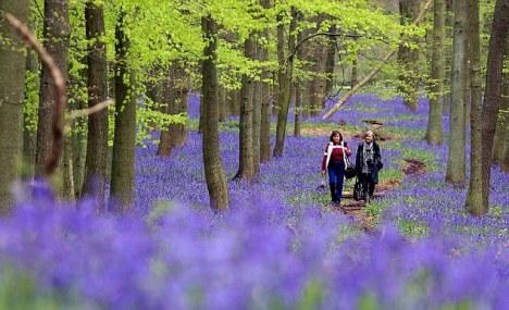 first of may bluebells in dockley wood ashridge....nr,. hemel hempstead...see words ends