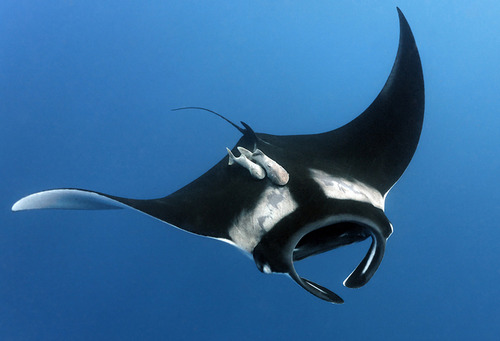 Image result for giant manta ray beautiful
