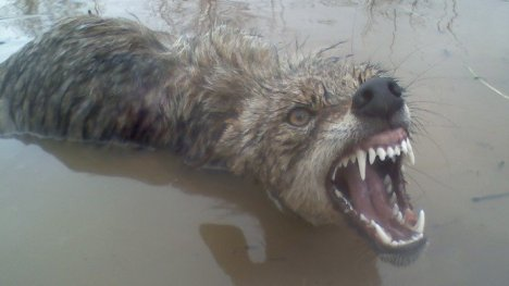 drowning wolf