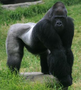 gorilla-310x346