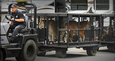 Tigers-in-Cage