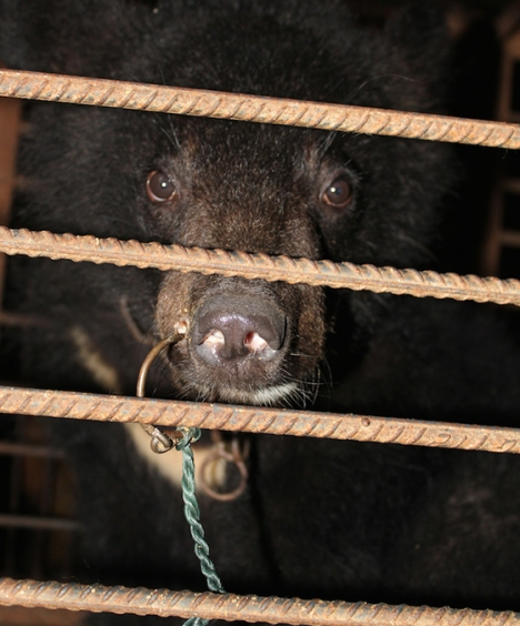 This caged bear's snout was pierced by a metal ring, which was used to lead her around. This procedure is frequently performed without pain medication.