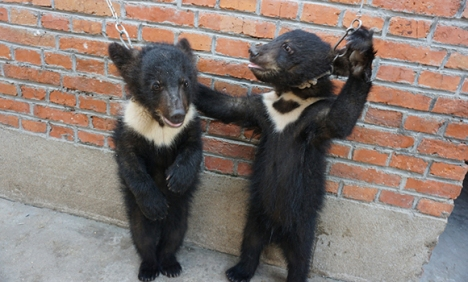 Bear cubs were chained to a brick wall and forced to stand upright, putting them at risk of choking or hanging.