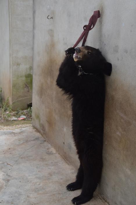 Chinese-Circus-Bear-2