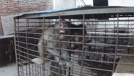 Chinese-Circus monkey