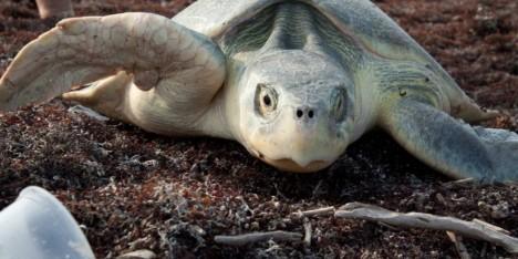 loggerhead turtle 2