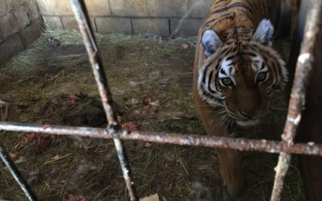 Tri-state_zoo_tiger