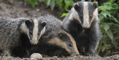 Three badgers