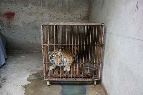 chinese-circus-tiger2