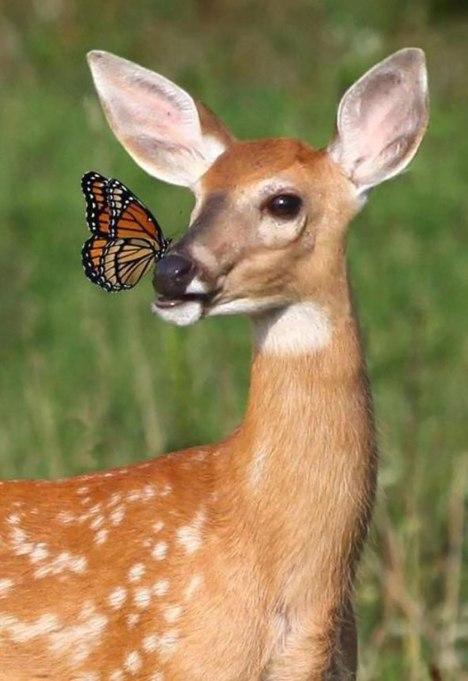 deer-butterfly