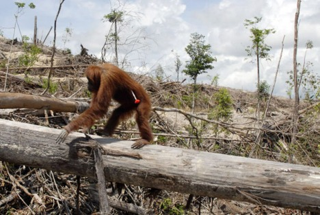 This handout image taken on November 19, 2007 shows an orangutan with an injection dart in his side - given to make him sleep before rangers relocate him to another place on Borneo island. In the middle of Borneo island, the struggle against the deforestation is lead by Yayasan Orangutan Indonesia (Yayorin) who convinces indigenous people not to sell their lands to palm oil companies, which is vital to the orangutan. At the end of 2008, more than 15,000 hectares of the community forest in Central Kalimantan have been sold for palm oil plantations threatening the livelihood of 2,500 people.   RESTRICTED TO EDITORIAL USE  GETTY OUT     AFP PHOTO/HO/CENTER FOR ORANGUTAN PROTECTION (Photo credit should read AFP/AFP/Getty Images)