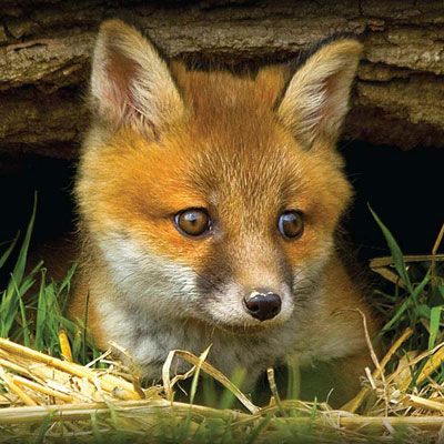 fox-cub-looking