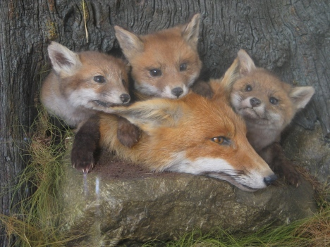 fox-with-cubs-1