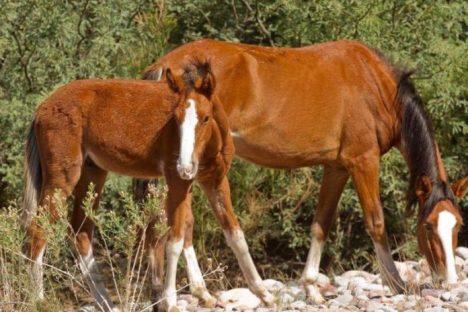 salt-river-horses