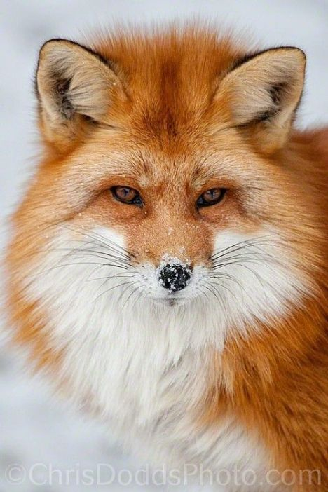 fox-close-up