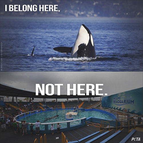 Killer whales in captivity vs wild - photo#46