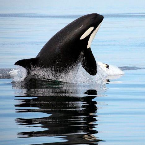 orca-wild