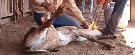 branded-calf-peta