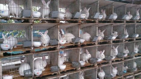 china-rabbits-1