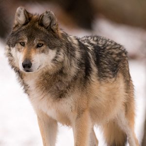 Germany: More Lies From The Hunters – This Time 'Wolves