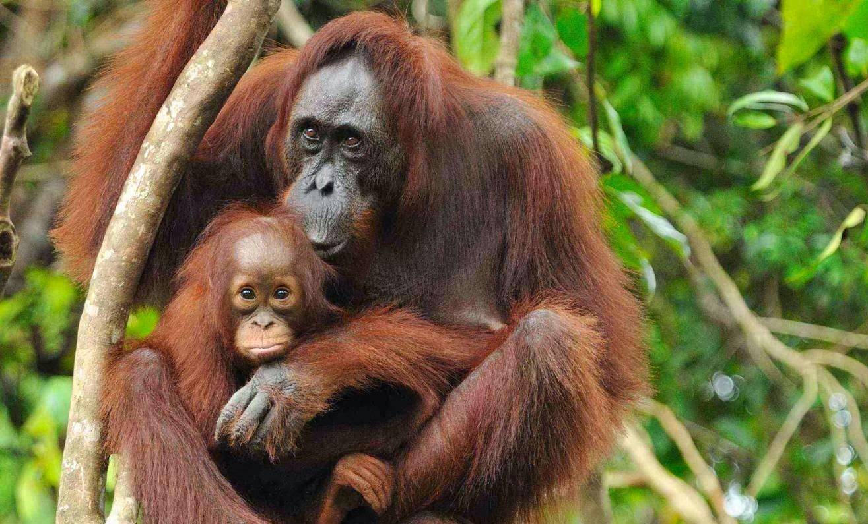 Картинки по запросу palm oil orangutan deaths