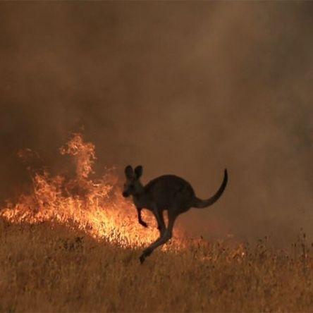 australien kangourujpg