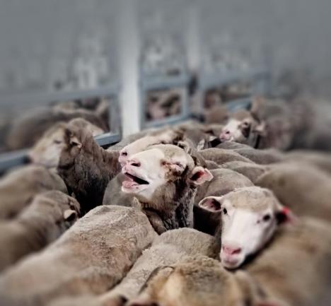 Schafen im Schifpng