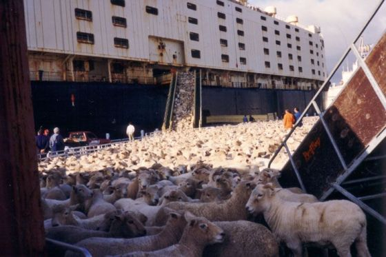 tiertransporte schafen im Schiff