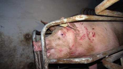 Schwein in engem Kasten jpg